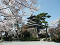 坂井市 丸岡城 桜