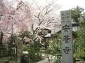 福井市 安養寺 しだれ桜