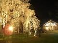 福井市 足羽神社 しだれ桜