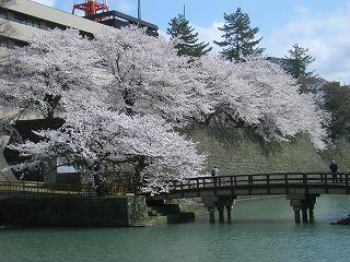 福井市 福井城址 桜