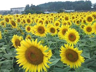 坂井市三国 ひまわり畑