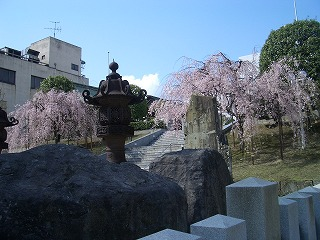 福井市 佐佳枝廼社 しだれ桜