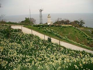 越前町 越前岬灯台 水仙ランド