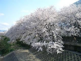 福井市 足羽川堤防 桜並木